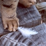 cat-paw-feather