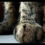 cat_paws_by_happymaster